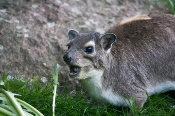 yellow-spotted rock hyrax eating
