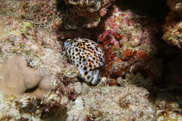A tiger cowrie sea snail, Cypraea tigris, underwater in the lagoon of Bora Bora, Pacific ocean, French Polynesia
