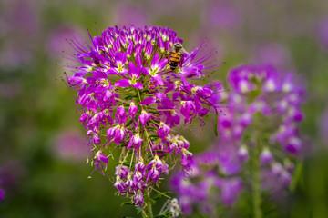Field of Rocky Mountain Bee Plants