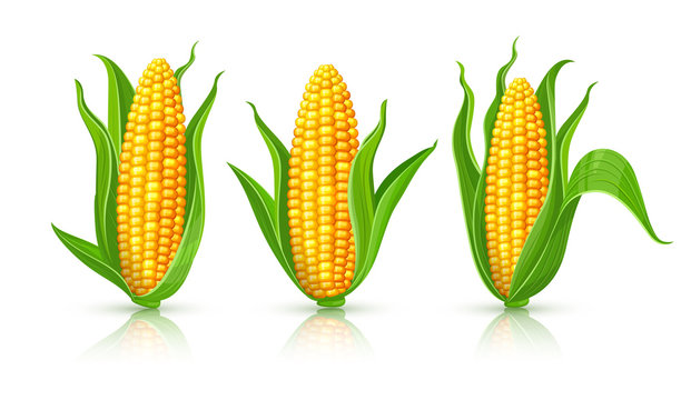 Corncobs with yellow corns and green leaves set, white