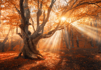 Papiers peints Forets Magical old tree with sun rays in the morning. Amazing forest in fog. Colorful landscape with foggy forest, gold sunlight, red foliage at sunrise. Fairy forest in autumn. Fall woods. Enchanted tree
