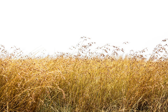 Red Oat Grass Isolated