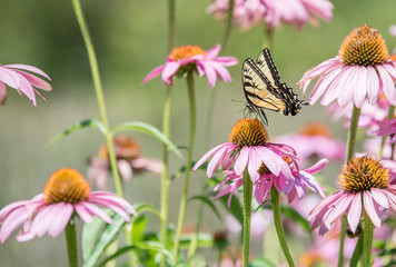 close up of butterfly on pink cone flower