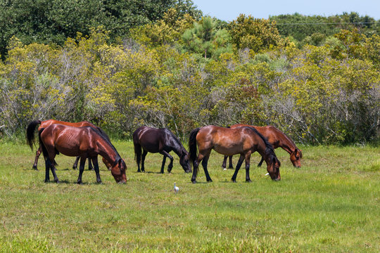 A herd of wild Spanish Mustangs grazing in a pasture in Corolla, North Carolina.