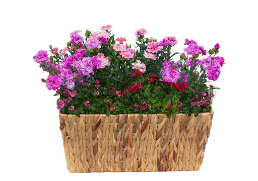 Basket with pink carnations or also known as sweet williams and twinspur flowers with many pink blossoms in front of a white background.
