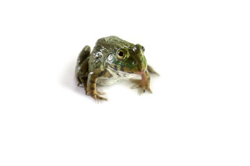 Frog on the white background,thailand,Can be eaten