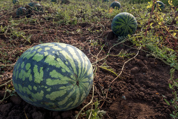 The harvest of watermelons in the morning sun