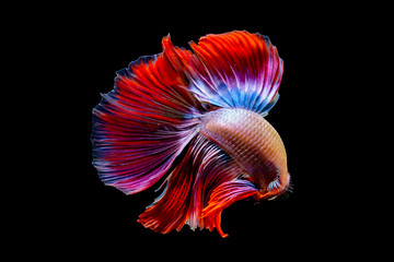 Fighting fish in black background.
