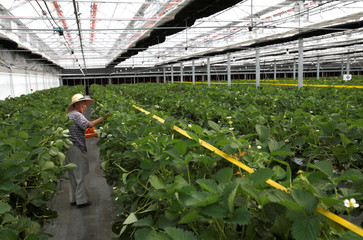 A man picks strawberries at a high-tech greenhouse in Yamamoto Town, Japan