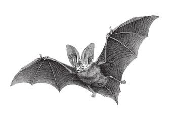 Brown long-eared bat (Plecotus auritus) / vintage illustration