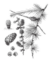 Larch (Larix europaea) - vintage illustration