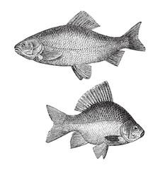 Golden ide (Leuciscus idus melanotus) above and Crucian carp (Carassius carassius) under - vintage illustration