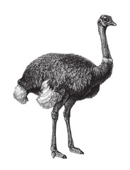Ostrich (Struthio camelus) / vintage illustration