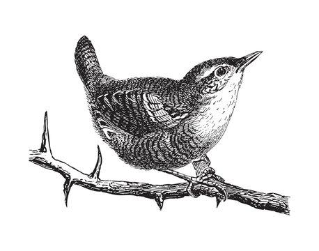 Wren (Troglodytes parvulus) - vintage illustration