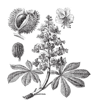 Horse chestnut or Conker tree (Aesculus Hippocastanum) - vintage illustration