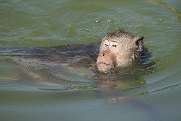 Monkey is swimming in the pool
