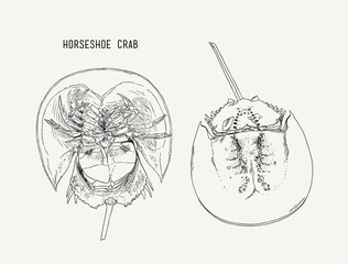 Horseshoe-crab hand draw sketch vector.