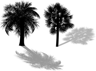 two palm trees with shadows isolated on white