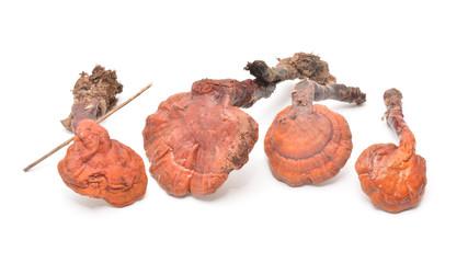 ganoderma lucidum mushroom