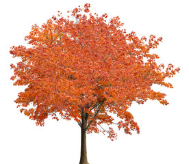 medium lush red maple isolated ob white