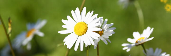 Camomile on the meadow grows on a green summer background