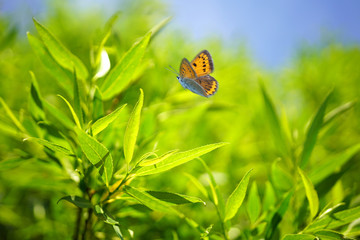 Beautiful nature background with foliage tree globular willow and waving butterfly in summer or spring. Fresh green foliage in nature outdoors in the sun with a soft focus.