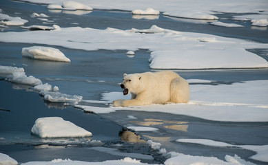 Polar bear on the floating sea ice north of Svalbard.