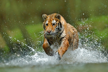 Tiger running in the water. Danger animal, tajga in Russia. Animal in the forest stream. Grey Stone, river droplet. Tiger with splash river water. Action wildlife scene with wild cat, nature habitat.