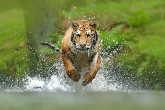 Siberian tiger, Panthera tigris altaica, low angle photo direct face view, running in the water directly at camera with water splashing around. Attacking predator in action. Tiger in taiga environment