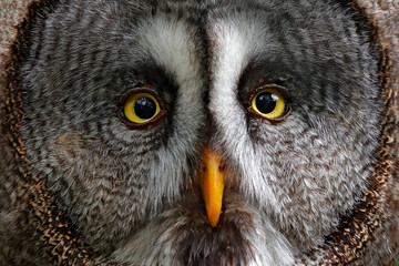 Wall Mural - Detail face portrait of owl. Owl hiden in the forest. Great grey owl, Strix nebulosa, sitting on old tree trunk with grass, portrait with yellow eyes. Animal in the forest nature habitat. Sweden