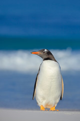 Penguin in the sea. Bird with blue waves. Ocean wildlife. Funny image. Gentoo penguin jumps out of blue water while swimming through the ocean in Falkland Island. Action wildlife scene from nature.