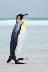 Big King penguin jumps out of the blue water while swimming through the ocean in Falkland Island. Wildlife scene from nature. Funny image from the ocean. Wild bird in the water.