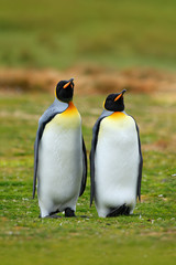 Pair of penguins. Mating king penguins with green background in Falkland Islands. Pair of penguins, love in the nature. Beautiful penguins in the nature habitat. Two birds in the grass.