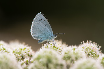 Holly blue (Celastrina argiolus) nectaring on hogweed. Female British insect in the family Lycaenidae feeding with underside visible
