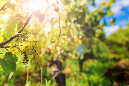 white grapes of chardonnay in the vine before the harvest in Burgundy, France
