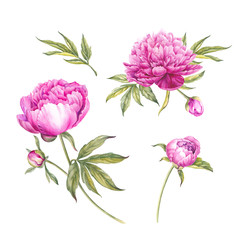 Set of watercolor pink peonies.