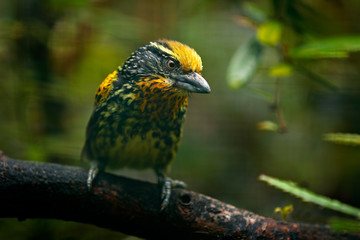 Barbet from Brazil. Gilded Barbet, Capito auratus, Ecuador. Yellow toucan from Ecuador. Bird from jungle. Beautiful bird from tropic forest. Exotic animal in the nature habitat. Amazon, Brazil.