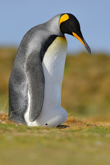 Funny image from nature, penguin in the grass. King penguin, Aptenodytes patagonicus sitting in grass with blue sky, Falkland Islands, Wildlife scene, nature. Breading session, bid with egg in plumage