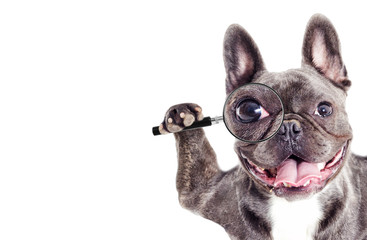 Foto op Canvas Franse bulldog French Bulldog dog Looks into a magnifying glass