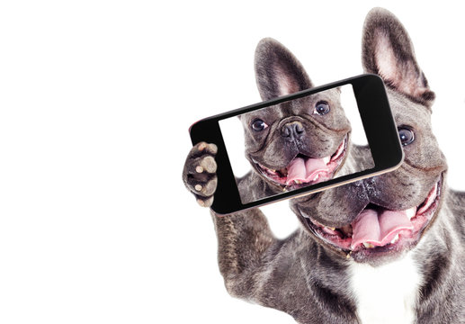 French Bulldog dog Does selfie on the phone