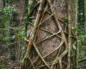 Strangler fig in the Australian rainforest near Noosa, Queensland