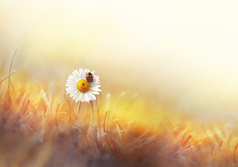 Fototapete - Beautiful natural background of golden color with chamomile and ladybug macro. Colorful elegant gentle tender artistic image  of a hot sunny summer outdoors nature.