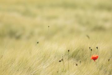 Corn field with a poppy flower