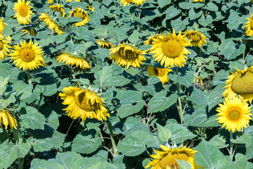 Field of blooming sunflowers on a background blue sky.