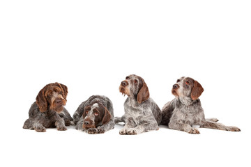 four German Wirehaired Pointer dogs