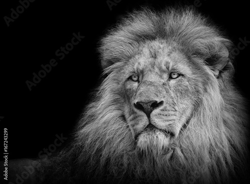 lion portrait in black white stock photo and royalty free images on