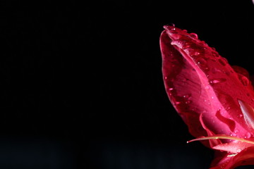Macro Night Light Photography of tropical Pink Red Pedal Flower with dew