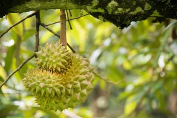 Durian fruit on tree in the garden