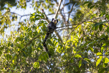Foto auf Gartenposter Affe Sagui-de-cara-branca (Callithrix geoffroyi) | White-headed marmoset