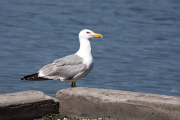 Great black-backed gull, Larus marinus, Romania